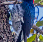 Acorn woodpecker--edit