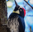 Acorn woodpecker--3-edit