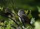 Here's another shot of the same Slate-colored Fox Sparrow in full song.