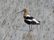 American Avocet, Lower Klamath NWR (OR), 5-29-2013