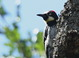The adult female Acorn Woodpecker was along W. Perrydale Road on 22 June 2013.