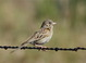 Here's another shot of the same Vesper Sparrow.