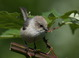 Juvenile Bushtit at Koll Wetlands on 13 July 2013. Adults of the coastal form have darker browner caps, while young birds have paler, grayer crown and face, which is somewhat suggested of the gray-crowned Great Basin form.