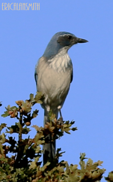 Western Scrub Jay Flying