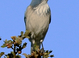 A Scrub Jay just before flying away