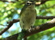 Blue-headed Vireo with huge worm at South Padre Island Convention Center on 11 November 2013.