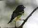 Blue-headed Vireo at South Padre Island Convention Center 11 November 2013.
