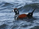 This male Harlequin Duck was one of 11 at The Cove in Seaside, Clatsop County, Oregon 6 December 2013.