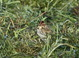 This Little Bunting, found on 13 December 2013 by Keith Slauson, was highly cooperative and enjoyed by dozens of birders on 14 December 2013.