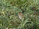 Humboldt County Little Bunting in the Mad River Bottoms on 14 December 2013.