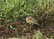 Humboldt County, CA Little Bunting, photographed here on 14 December 2013, was found the previous day by Keith Slauson.