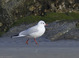 02/07/2014.  Adult non-breeding Black-headed Gull.  One of 3 present at Little Creek inlet, Virginia Beach, VA.
