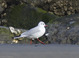 Black-headed Gull, adult, non-breeding, Virginia Beach, VA on 02/07/2014.
