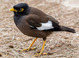Common Myna taken by Dan Mitchell in Ho'omaluhia Botancial Garden, Oahu, Hawaii.