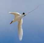 Red-tailed tropicbird- 3-21-14 2532-edit