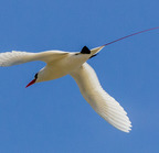Red-tailed tropicbird- 3-21-14 2534-edit