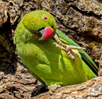 Rose-ringied parakeet- 3-22-14 2-9-edit