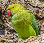 Rose-ringied parakeet- 3-22-14 2-26-edit
