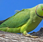 Rose-ringied parakeet- 3-22-14 2-31-edit