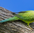 Rose-ringied parakeet- 3-22-14 2-38-edit