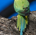 Rose-ringied parakeet- 3-22-14 2-40-edit