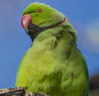 Rose-ringied parakeet- 3-22-14 2-54-edit