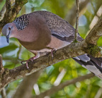 Spotted dove- 3-19-14 2212-edit