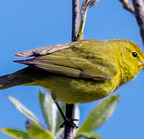 Orange-crowned warbler- 4-9-14 2955-edit