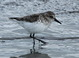 Profile shot of the presumed second-year Semipalmated Sandpiper at Newport, Oregon on 18 May 2014.
