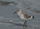 Presumed first-spring Semipalmated Sandpiper at Newport, Oregon on 18 May 2014.