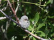 """We encountered multiple family groups of """"Plumbeous"""" Bushtits as we made our way along the lower reaches of Hinkey Road and the Indian Creek drainage."""