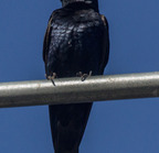 Purple martin-9229-edit