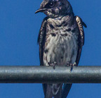 Purple martin-9223-edit