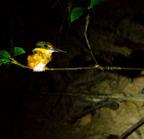 American_pygmy_kingfisher-01
