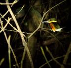 American_pygmy_kingfisher-03
