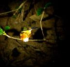 American_pygmy_kingfisher-08