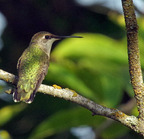 Black-chinned_hummingbird-0