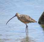 Long-billed curlew san diego