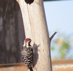 Nuttalls woodpecker-1