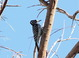We found a pair of Ladder-backed Woodpeckers at the Tamarisk Grove Campground in Anza Borrego State Park on 9 October 2014.