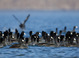 American Coots taken by Dan Mitchell on Lake Billy Chinook from kayak on 10/10/14.
