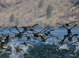 American Coots taken by Dan Mitchell from kayak on Lake Billy Chinook on 10/10/14.