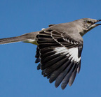Northern mockingbird flying - 7501 9-28-13