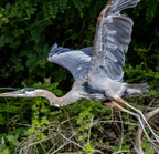 Great blue heron 7-11-13-
