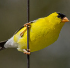 American goldfinch-4-29-12 8865-edit