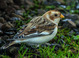 Snow Bunting Astoria, OR December 14, 2014