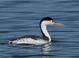 Adult Clark's Grebe at Tule Lake NWR on 8 March 2015. Note orange bill, eye surrounded by white feathering, and pale flanks.