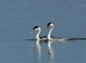 This pair of adult Clark's Grebes was doing their ritualized courtship interaction at Tule Lake NWR on 8 March 2015.