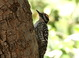 This is a fairly typical adult male Ladder-backed Woodpecker. It was photographed in Cochise County, Arizona on 23 April 2015.