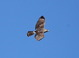 This juvenile Gray Hawk was soaring near Tubac, Santa Cruz County, Arizona on 21 April 2015.
